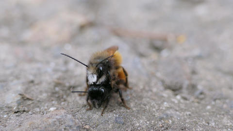Macro Shot Wild Bees Osmia Rufa Couple In Love Insect Copulation Pair Footage