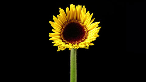 Time Lapse of an yellow daisy blooming Footage