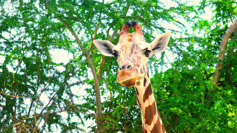 African giraffe in natural environment Live Action