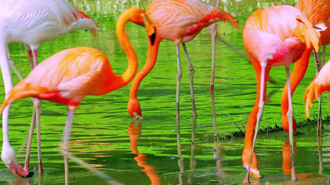Graceful flamingos drinking and feeding in shallow pond Footage