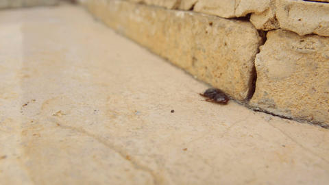 Female desert sand cockroach aka Arenivaga africana moving fast on pavement Footage