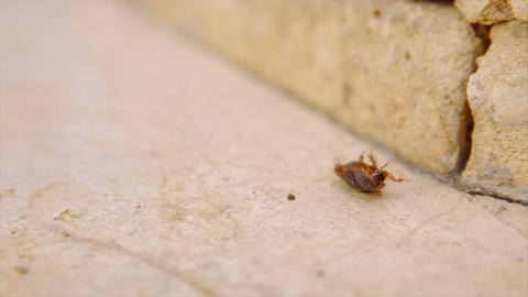 Female desert sand cockroach aka Arenivaga africana on its back - slow motion Footage