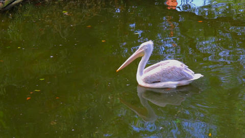 Pelican floating in the lake Footage