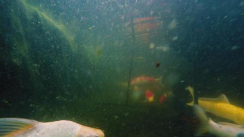 Underwater shot of many Koi fish swim in pond Footage