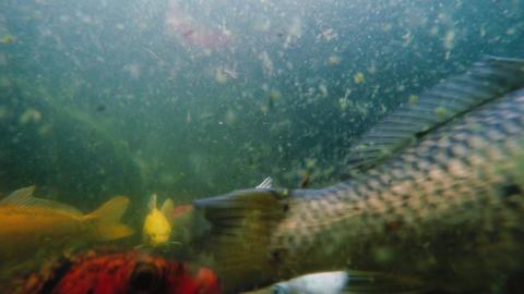 Underwater shot of many Koi fish swim in pond Footage
