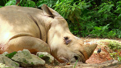 Rhino taking nap in shadows of exotic plants during sunny... Stock Video Footage