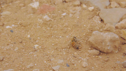 Wounded bee walking away across dry sand Footage