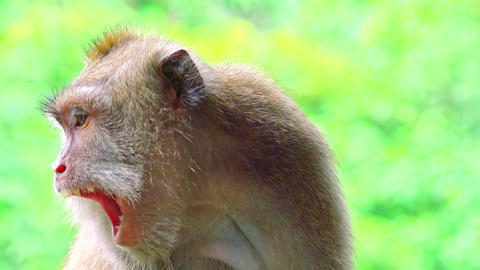 Close-up of Balinese long-tailed macaque looking around and yawning Footage