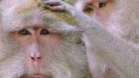 Macaque monkey carefully grooming other one. Indonesia Footage