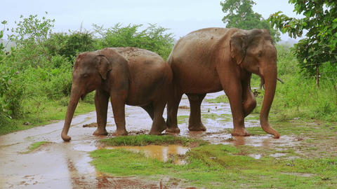 Big Asian elephants enjoying dust bathing during rainy season in Sri Lanka Footage