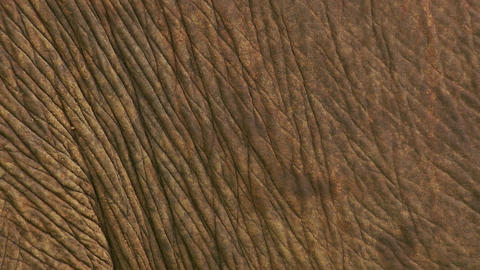 Asian elephant skin texture Footage