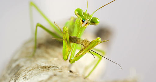 Macro Praying Mantis Eating A Cricket Footage