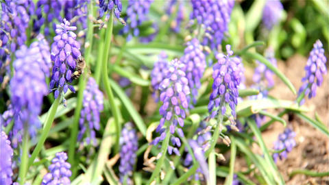 Honey bees on lavender plant Filmmaterial