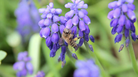 Honey bees on lavender plant Footage