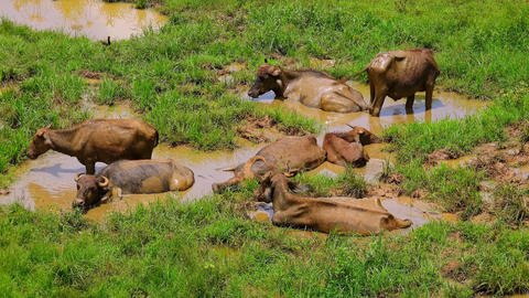 Group of Asian water buffalos lying in muddy puddle on sunny day. Sri Lanka Footage