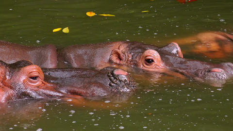 Hippos lying relaxed in muddy water with their heads sticking out of surface Footage