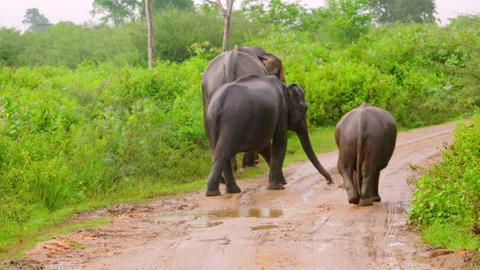 Adult Asian elephants and baby walking away along muddy road. Sri Lanka Footage