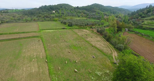 Aerial Free Range Sheeps are Feeding in Anatolia, Turkey Footage