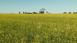 Sheds and Silos Surrounded by a Canola Crop on a Farm Footage