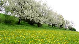 flowering trees and field of flowers (dandelion) Footage