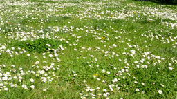 panorama of meadow full of daisies Footage