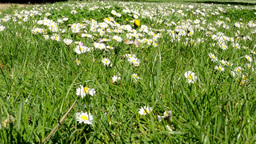 meadow full of daisies Footage