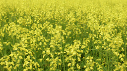 Blooming Canola Crop Footage