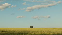 Tree in a Camola Crop Under Blue Skies Footage