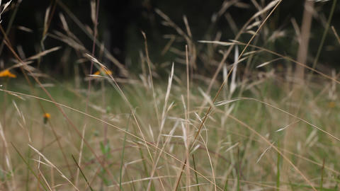 Grass Blowing in the wind Footage