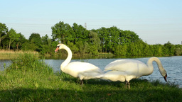 Swans on the lake shore with grass and trees in the background Footage