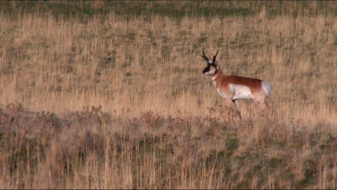 Pronghorn antelope foraging in the green grass Footage