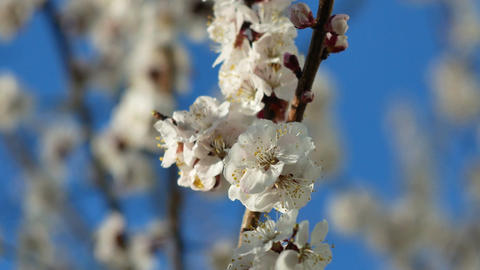 A closeup of a beautiful branch of apricot or sakura blossoming in a spring in t Footage