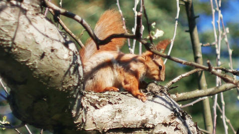 Red wild Squirrel jump from tree branch in spring garden or forest close-up Footage