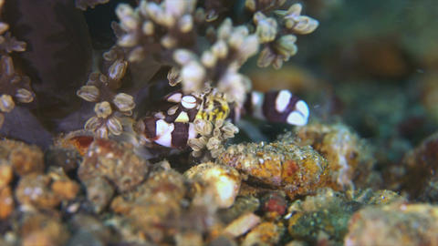 Harlequin Swimming Crab Live Action