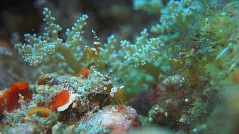 Squat Shrimps Live Action