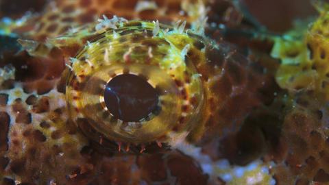 Scorpionfish 4k Footage
