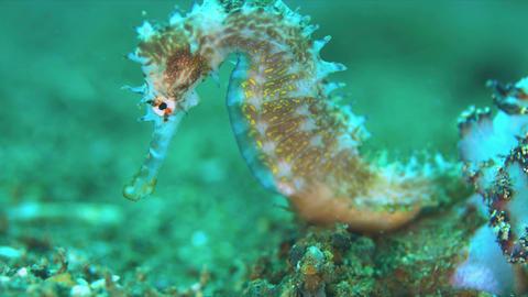 Thorny Seahorse. 4k