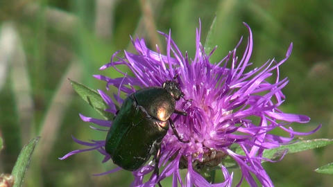 Green rose chafer on flower Footage