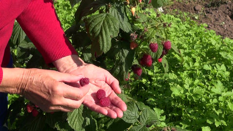 Senior woman picking raspberries Footage