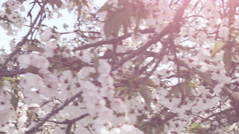move into cherry blossoms with sunlight Footage