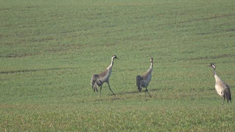 beautiful wild cranes Grus grus two pairs on spring wheat field, 4K 영상물