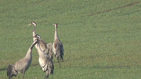 Two pairs graceful wild common cranes Grus grus on field in spring, 4K 영상물