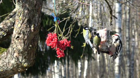 Woodpecker Dendrocopus medius and two big tits Parus major eating lard, 4K Footage