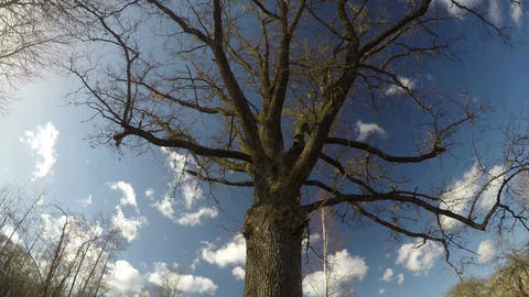 majestic oak trunk with branches in spring and white clouds, time lapse 4K Footage