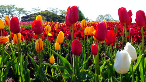Colorful field with blooming tulips GIF