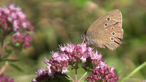 Butterfly on oregano wild marjoram Footage