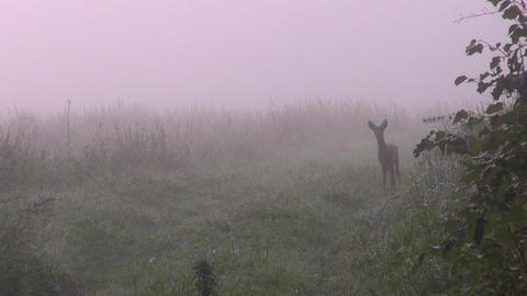 Young curious roe deer in meadow Footage