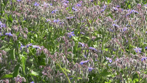 Borago officinalis with bees Footage
