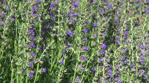Flowering medical herb Hyssopus officinalis Footage