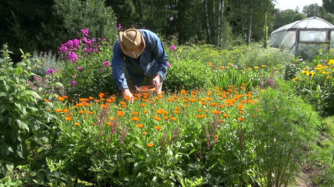 Gardener collecting medical calendula flowers Footage